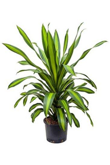 Dracaena Burley (Drakenboom) - Hydroplant