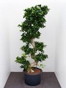 Ficus Microcarpa Compacta