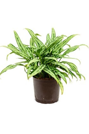 Aglaonema Cutlass (Chinese Evergreen) - Hydroplant