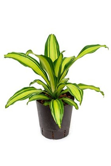 Dracaena Burley Lemon (Drakenboom) - Hydroplant