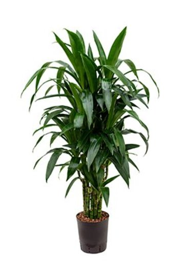 Dracaena Janet Craig (Drakenboom) - Hydroplant