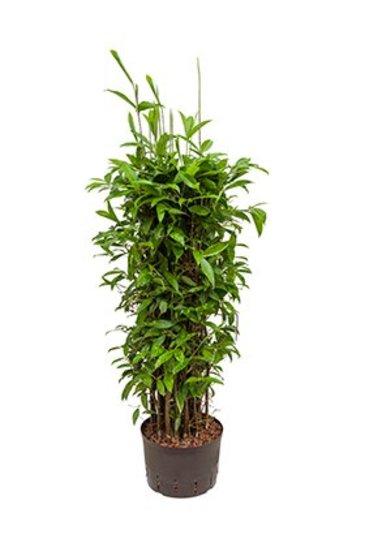 Dracaena Surculosa (Drakenboom) - Hydroplant
