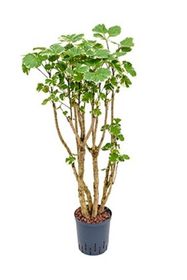 Aralia Balfouriana (Polyscias) - Hydroplant