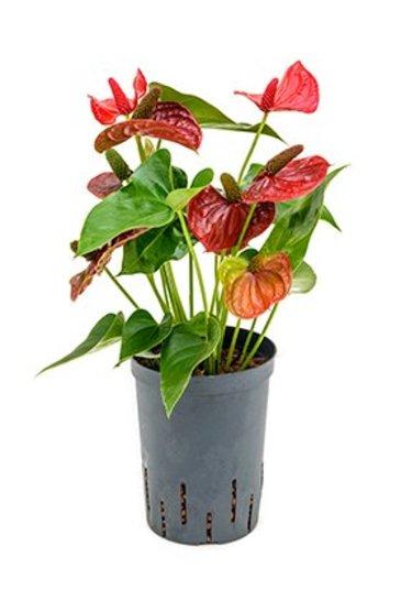 Anthurium Sierra Magic (Flamingoplant) - Hydroplant