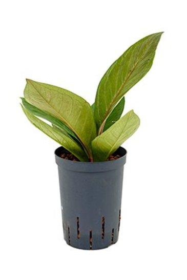 Anthurium Superbum (Flamingoplant) - Hydroplant