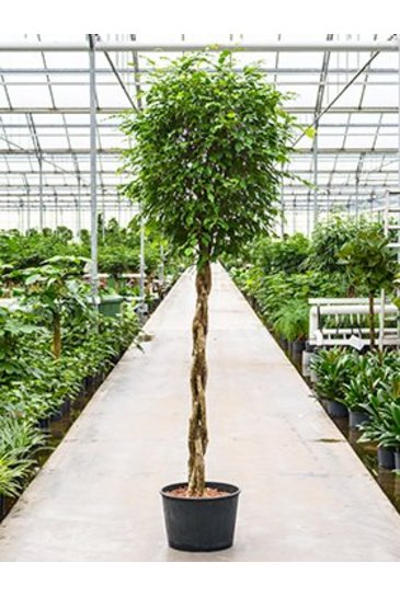 Ficus Benjamina (Vijgenboom) - Hydroplant