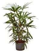 Palm Rhapis Excelsea