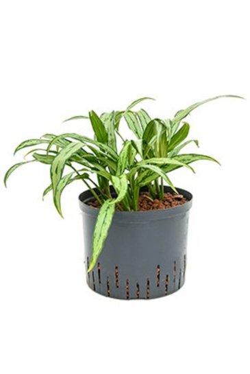 Aglaonema Cutlass (Chinese evergreen) - Hydrocultuur