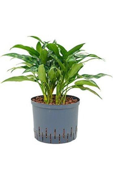 Aglaonema Maria (Chinese evergreen) - Hydrocultuur