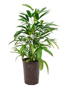 Palm Rhapis Multifida