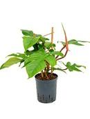 Philodendron Squamiferum