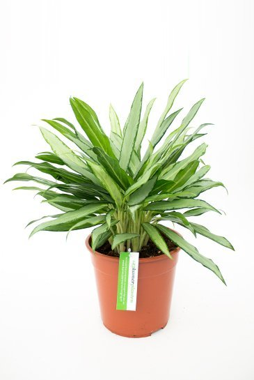 Aglaonema White Lance - Chinese Evergreen