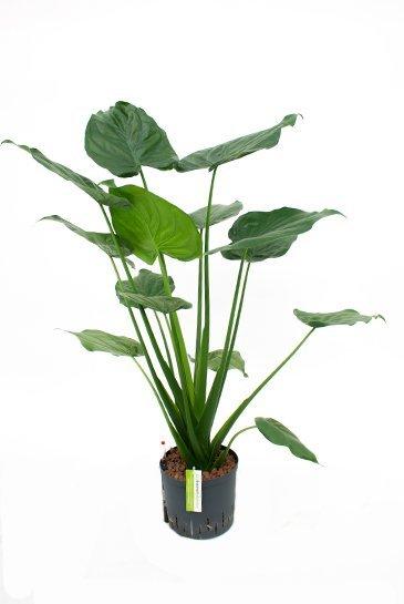 Alocasia Cucullata (Olifantsoor) - Hydroplant