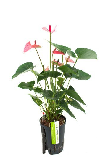 Anthurium Pink Champion (Flamingoplant) - Hydroplant