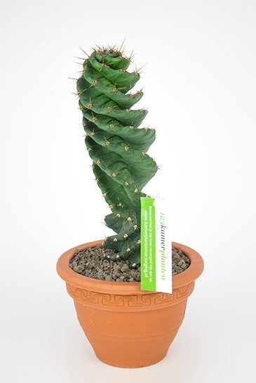 Cactus Cereus Jamacaru - Zuilcactus