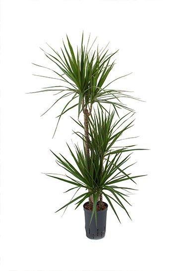 Dracaena Marginata (Drakenboom) - Hydroplant