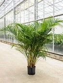 Palm Areca Lutescens