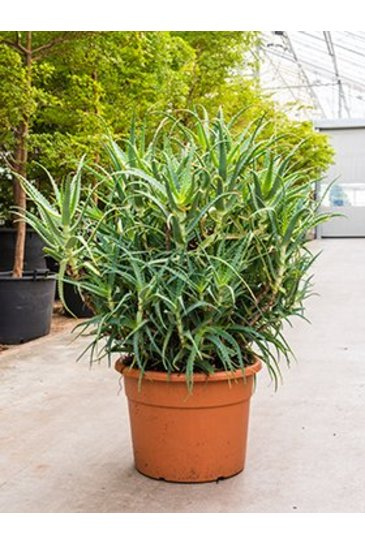 Aloe Arborescens - Wonderplant