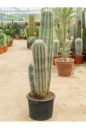 Cactus Pachycereus Pringlei - Zuilcactus