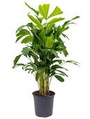 Palm Caryota Mitis