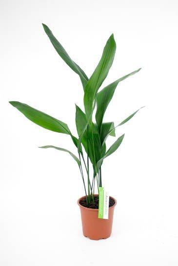 Aspidistra Elatior - Kwartjesplant
