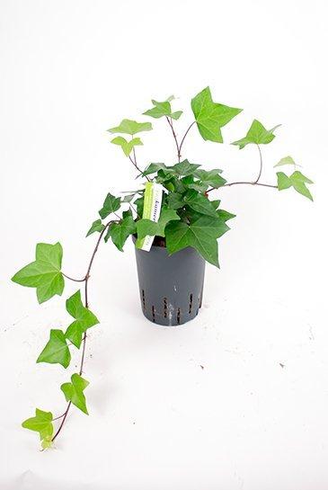 Hedera Montgomery - Hydroplant