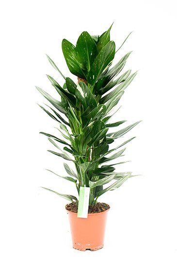 Philodendron Cobra - Phileo