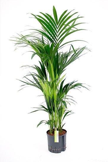 Kentia Howea Forsteriana - Hydroplant