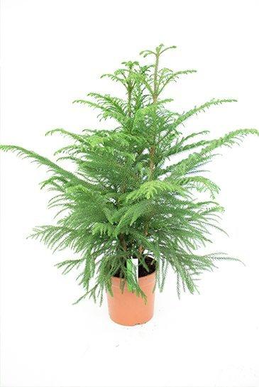 Araucaria Heterophylla - Apenbroodboom