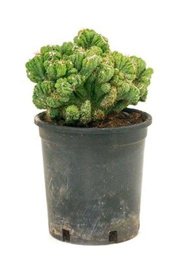 Cactus Cereus Monstrosus Crestata - Cactaceae