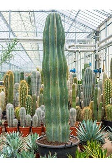 Cactus Pachycereus Pachypringlei - Cactaceae