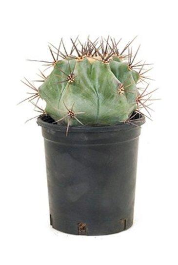 Echinocactus Ingens - Bolcactus