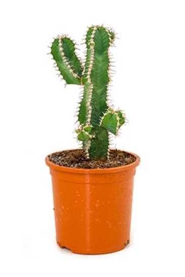 Euphorbia Polyacantha - Wolfsmelk