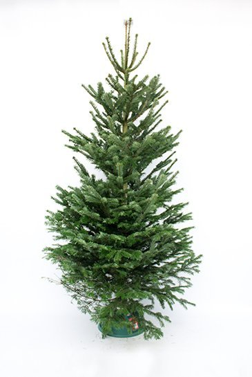Kerstboom Nordmann Excellent