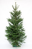 Kerstboom Picea Abies