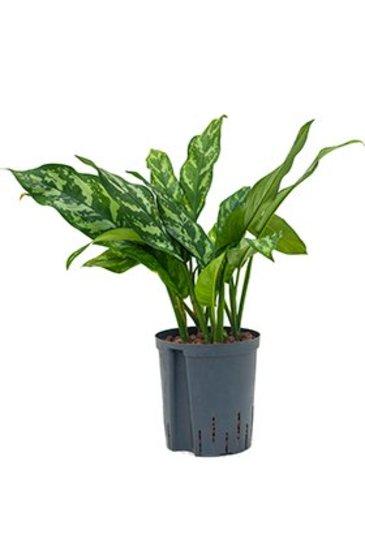 Aglaonema Maria - Chinese Evergreen (Hydroplant)