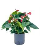 Anthurium Dark Red