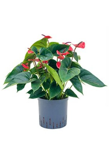 Anthurium Dark Red - Flamingoplant (Hydroplant)