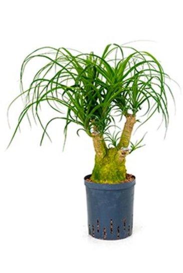 Beaucarnea  Recurvata - Olifantspoot (Hydroplant)