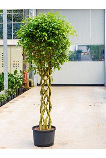 Ficus  Benjamina - Vijgenboom (Hydroplant)