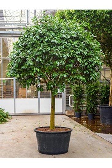 Ficus  Nitida - Vijgenboom (Hydroplant)