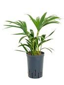 Palm Kentia Forsteriana