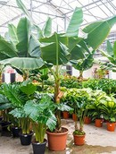 Bananenplant Dwarf Cavendish