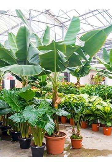 Bananenplant Dwarf Cavendish - Musa