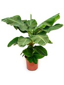 Bananenplant Tropicana