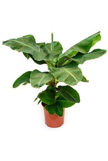 Bananenplant Tropicana  - Musa