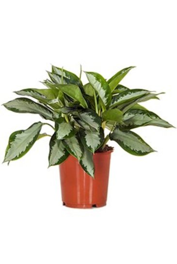 Aglaonema Silver Moon  - Chinese Evergreen
