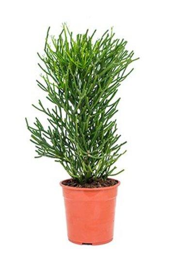 Euphorbia Tirucalli   - Wolfsmelk