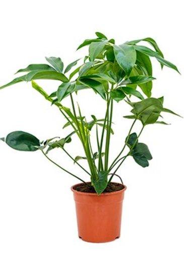 Philodendron Green Wonder  - Phileo