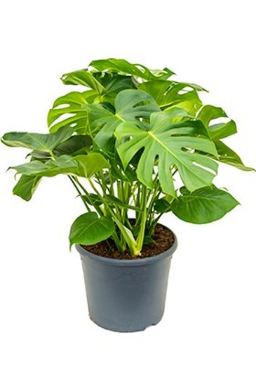 Philodendron Pertusem   - Gatenplant